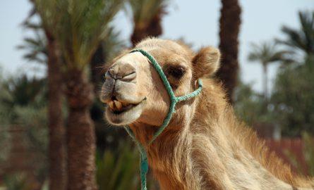 Ein Kamel auf dem Kamelmarkt in Al Ain
